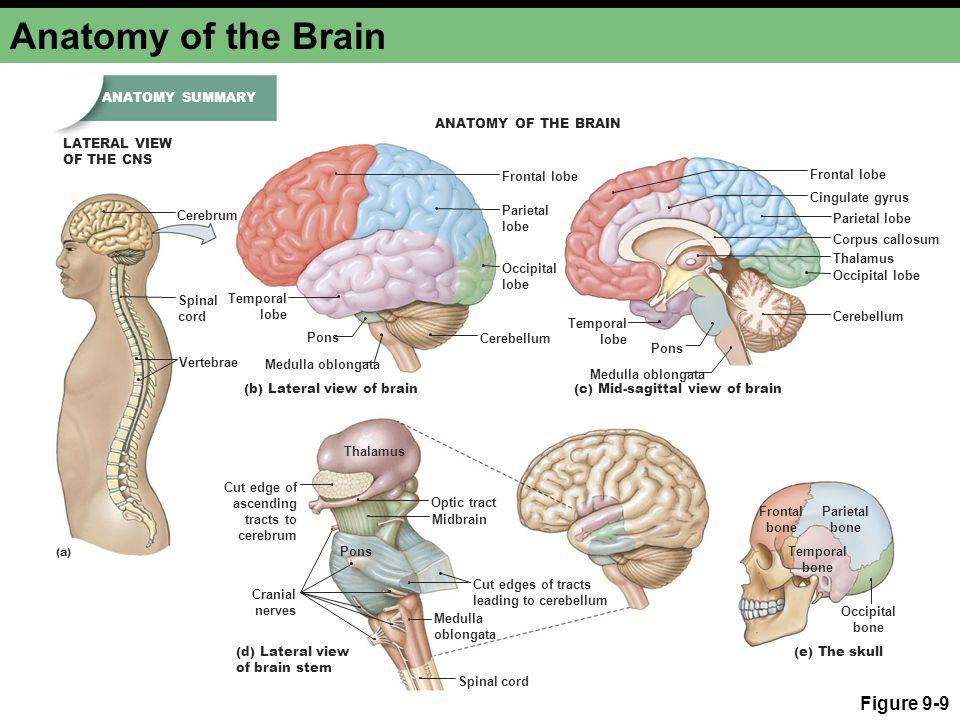 Anatomy of the Brain Figure 9-9 Temporal lobe Occipital lobe Parietal lobe Temporal lobe Parietal lobe Occipital lobe Frontal lobe (a) (b) Lateral vie
