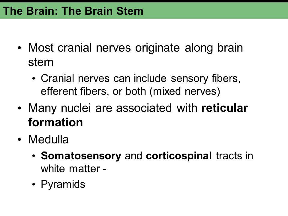 The Brain: The Brain Stem Most cranial nerves originate along brain stem Cranial nerves can include sensory fibers, efferent fibers, or both (mixed ne