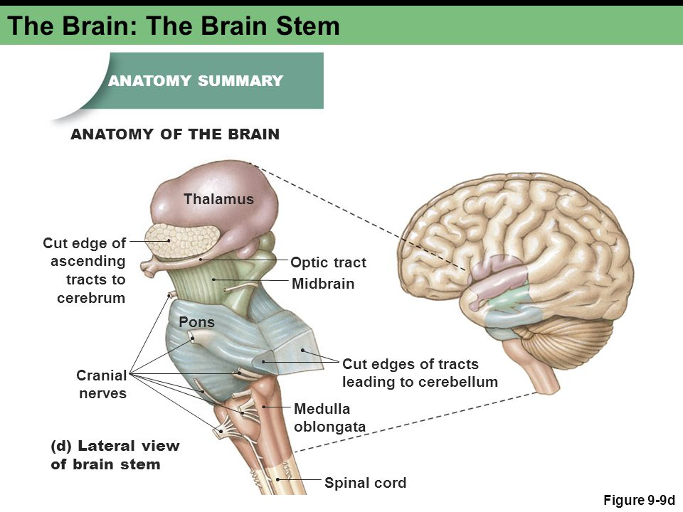 The Brain: The Brain Stem Figure 9-9d (d) Lateral view of brain stem Medulla oblongata Thalamus Spinal cord Cut edges of tracts leading to cerebellum