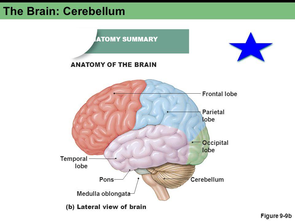 The Brain: Cerebellum Figure 9-9b Temporal lobe Occipital lobe Parietal lobe Frontal lobe (b) Lateral view of brain Cerebellum Medulla oblongata Pons