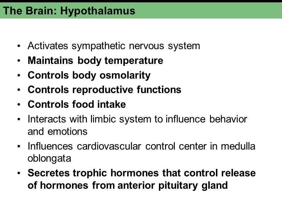 The Brain: Hypothalamus Activates sympathetic nervous system Maintains body temperature Controls body osmolarity Controls reproductive functions Contr