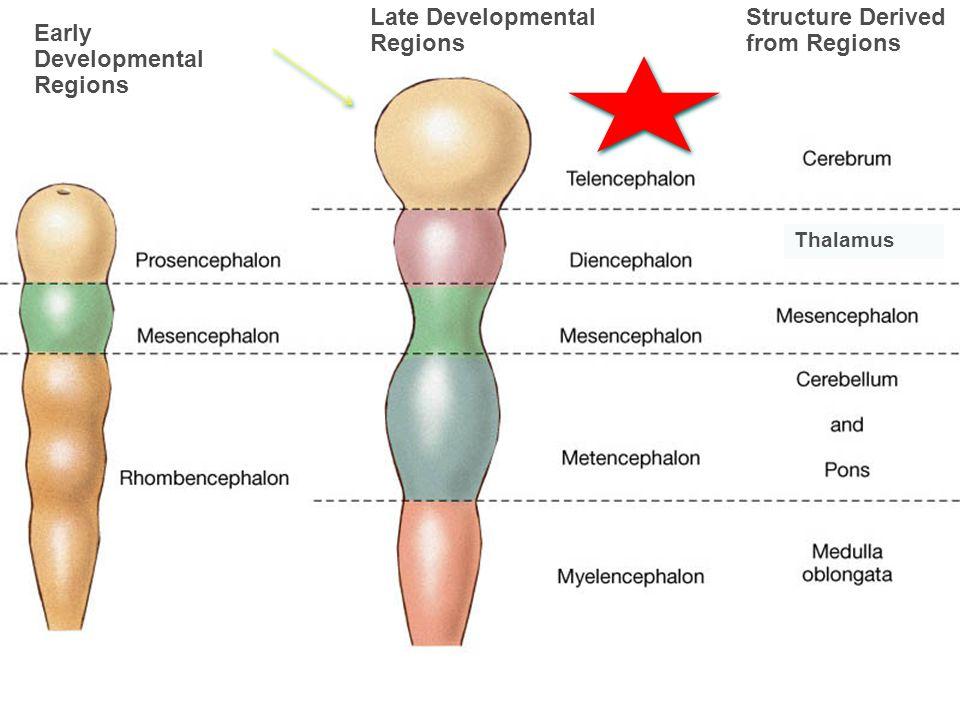 Early Developmental Regions Late Developmental Regions Structure Derived from Regions Thalamus