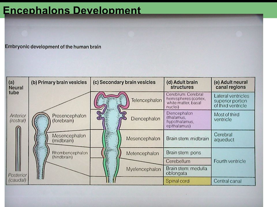 Encephalons Development