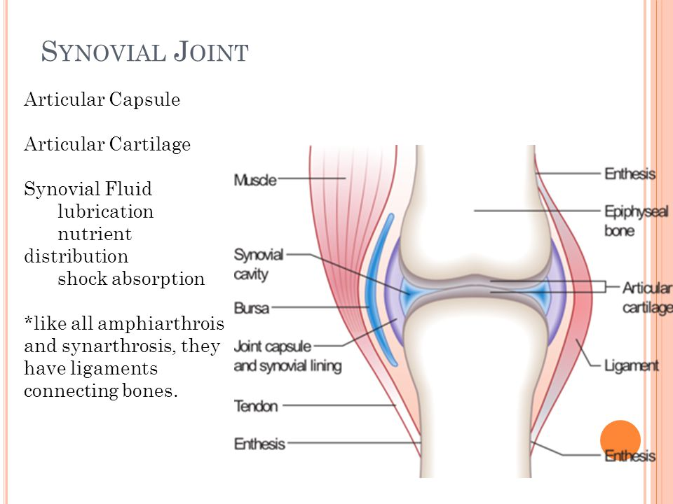S YNOVIAL J OINT Articular Capsule Articular Cartilage Synovial Fluid lubrication nutrient distribution shock absorption *like all amphiarthrois and synarthrosis, they have ligaments connecting bones.