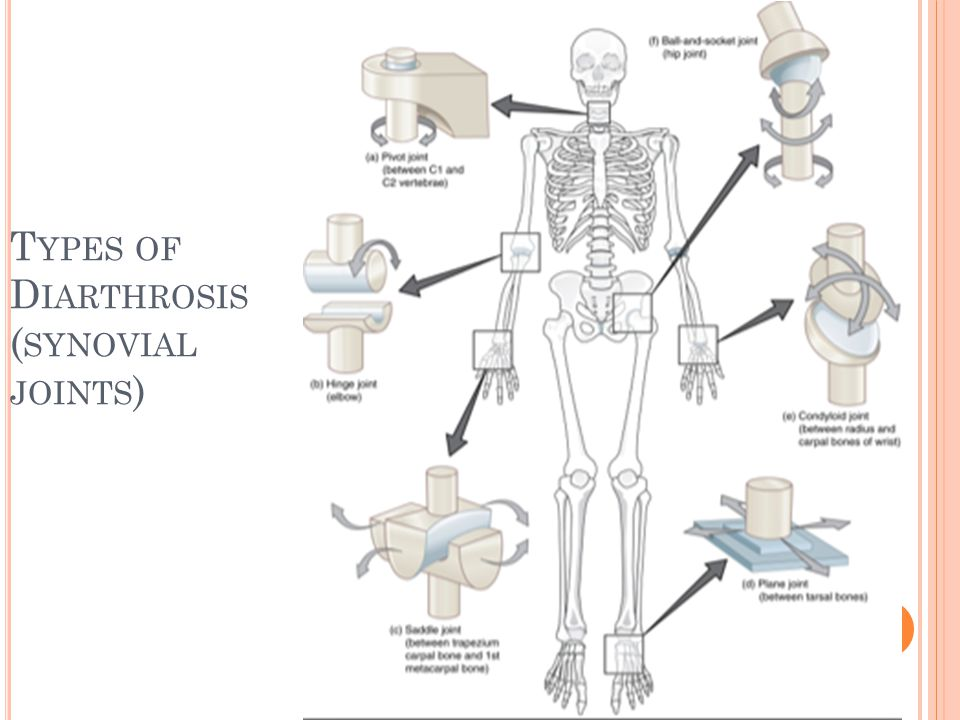 A CCESSORY S TRUCTURES 1.Cartilages and fat pads cushion the joint.