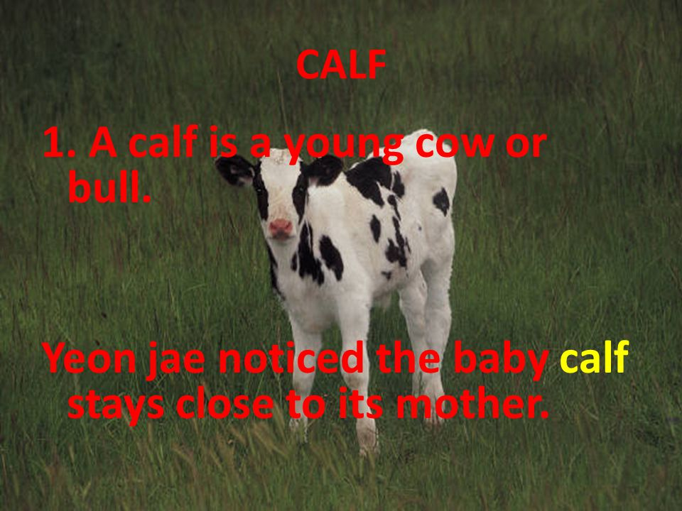 CALF 1. A calf is a young cow or bull. Yeon jae noticed the baby calf stays close to its mother.