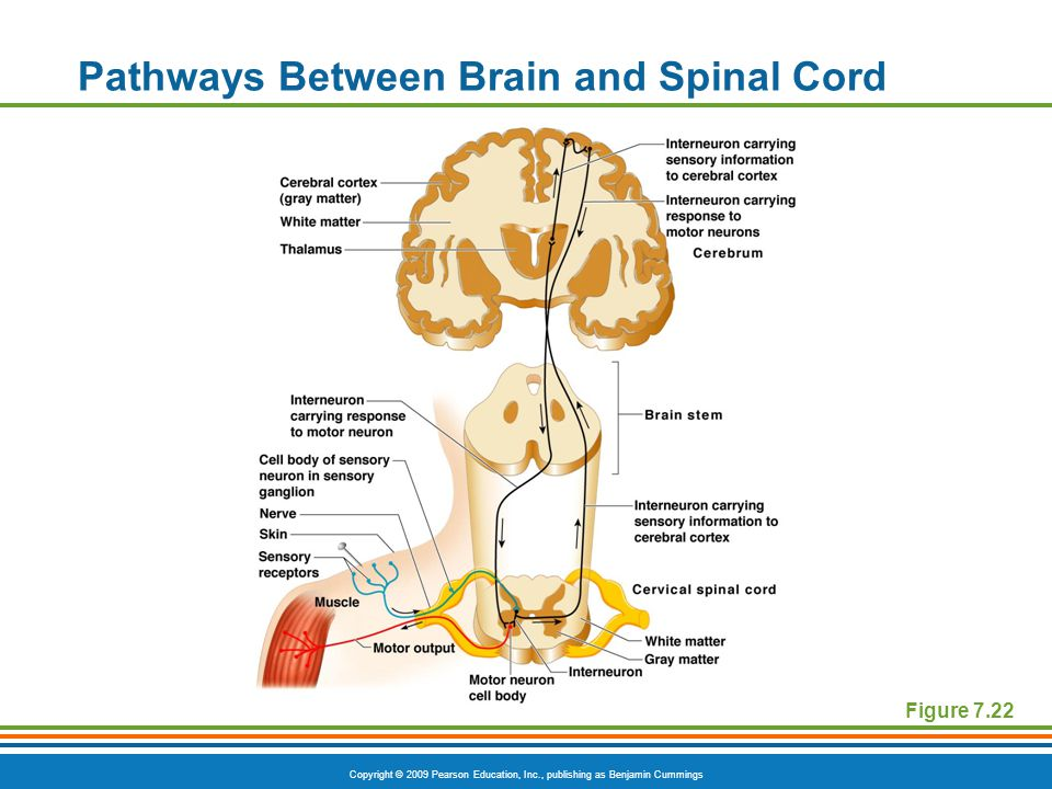 Copyright © 2009 Pearson Education, Inc., publishing as Benjamin Cummings Pathways Between Brain and Spinal Cord Figure 7.22