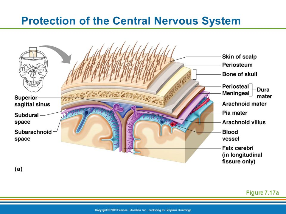 Copyright © 2009 Pearson Education, Inc., publishing as Benjamin Cummings Protection of the Central Nervous System Figure 7.17a