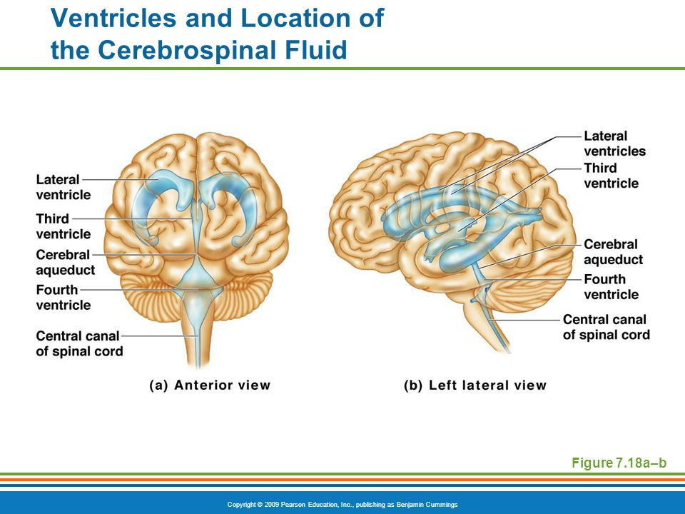 Copyright © 2009 Pearson Education, Inc., publishing as Benjamin Cummings Figure 7.18a–b Ventricles and Location of the Cerebrospinal Fluid
