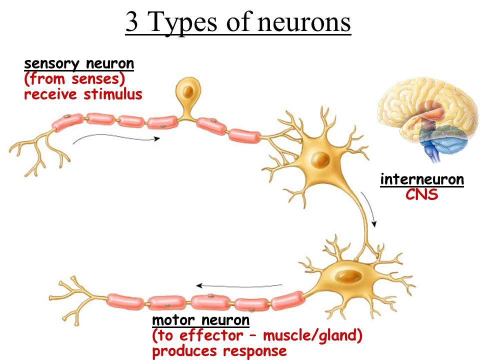 Sensory Neuron Interneuron Motor Neuron Sensory Neuron Interneuron Motor Neuron Muscle Contracts Synapse