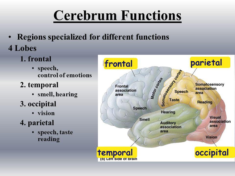 Higher Brain: Cerebrum 2 hemispheres: –left controls the right side of body –right controls the left side of body