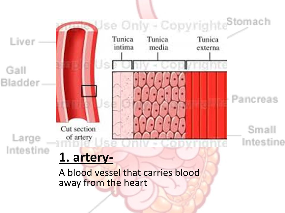 1. artery- A blood vessel that carries blood away from the heart