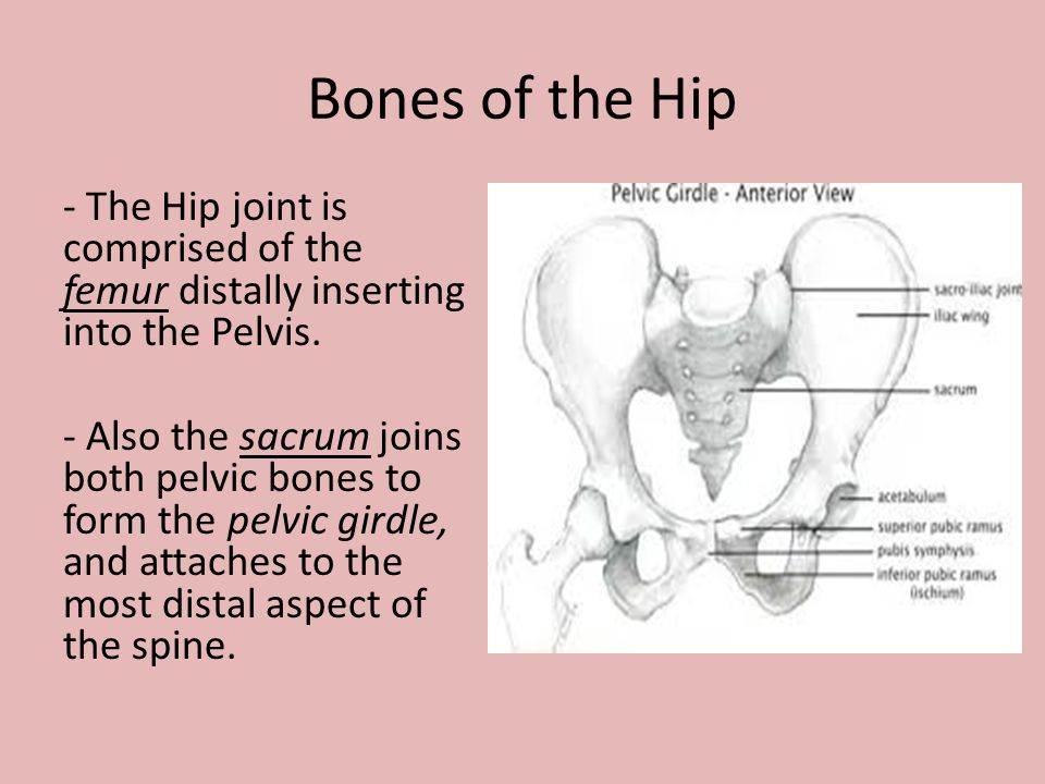 - The Hip joint is comprised of the femur distally inserting into the Pelvis. - Also the sacrum joins both pelvic bones to form the pelvic girdle, and