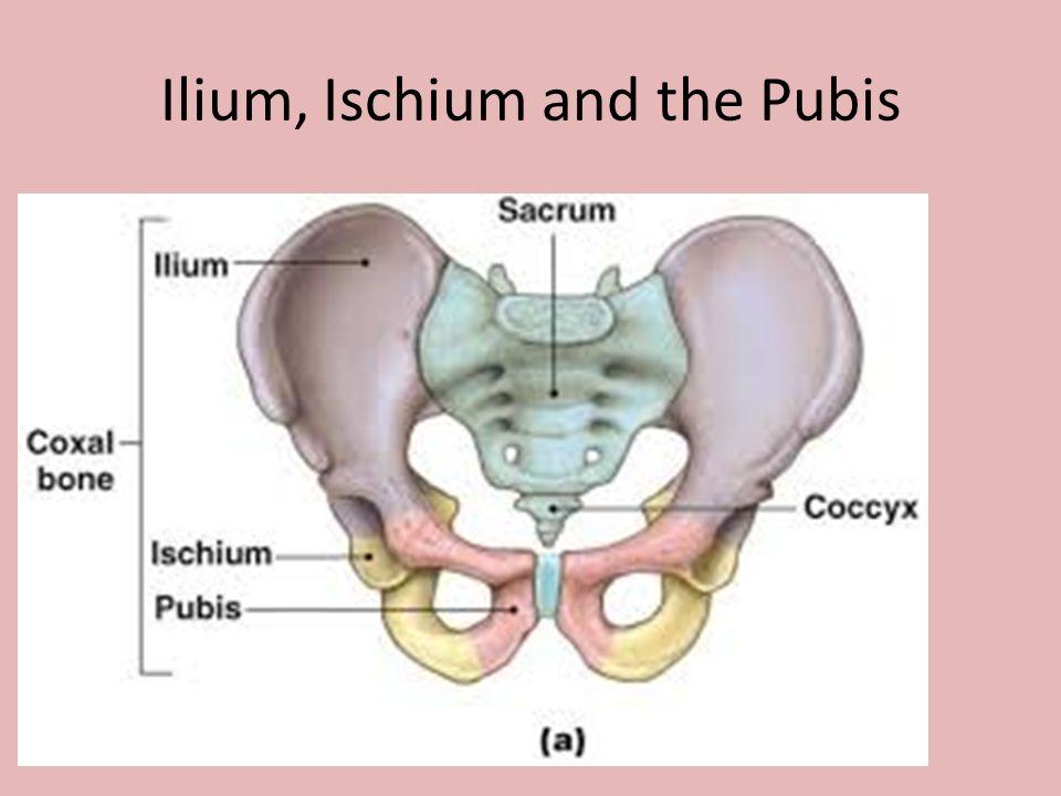 Ilium, Ischium and the Pubis
