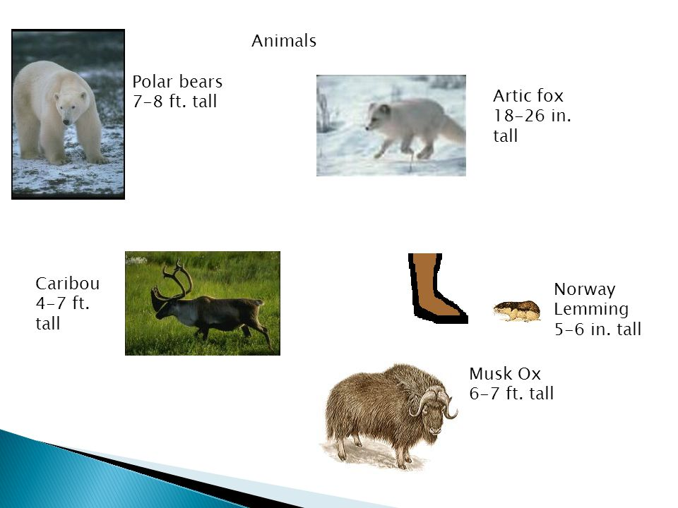 Polar bears 7-8 ft. tall Caribou 4-7 ft. tall Artic fox 18-26 in. tall Musk Ox 6-7 ft. tall Norway Lemming 5-6 in. tall Animals