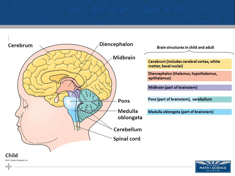 Cerebrum Diencephalon Midbrain Pons Medulla oblongata Cerebellum Spinal cord Child