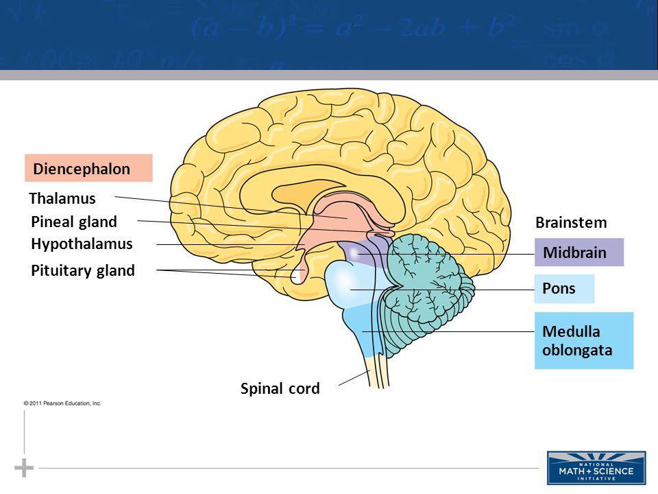 Diencephalon Thalamus Pineal gland Hypothalamus Pituitary gland Spinal cord Brainstem Midbrain Pons Medulla oblongata