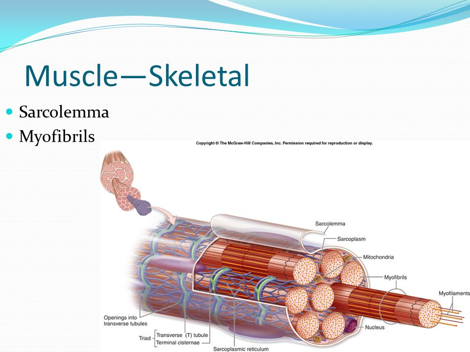 Muscle—Skeletal Sarcolemma Myofibrils