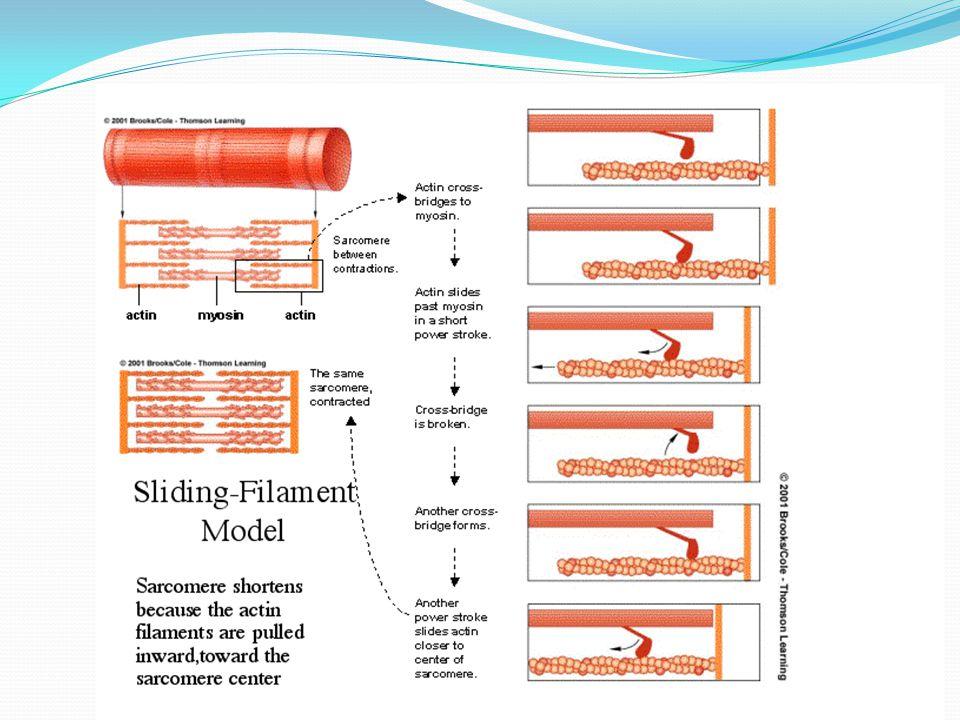 Muscle Sliding Filament Model Animation