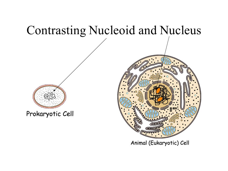 Contrasting Nucleoid and Nucleus