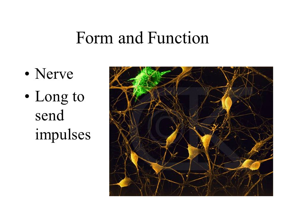 Form and Function Nerve Long to send impulses