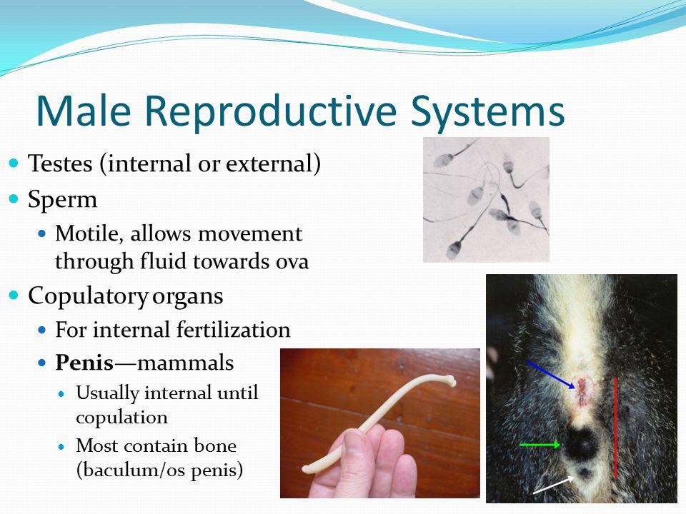 Male Reproductive Systems Testes (internal or external) Sperm Motile, allows movement through fluid towards ova Copulatory organs For internal fertilization Penis—mammals Usually internal until copulation Most contain bone (baculum/os penis)