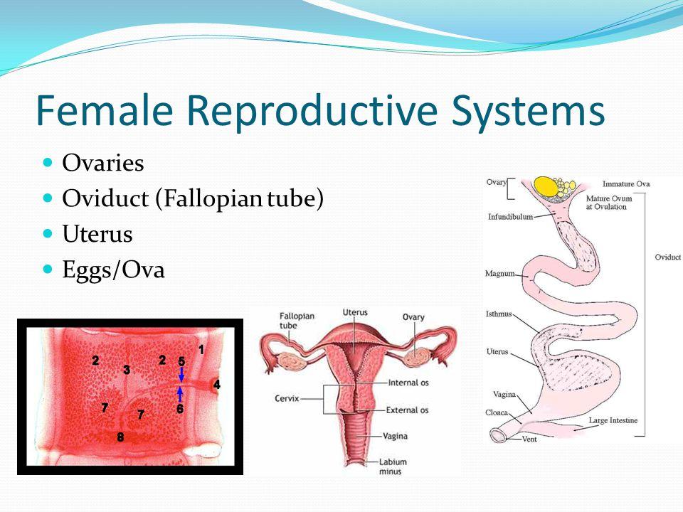 Female Reproductive Systems Ovaries Oviduct (Fallopian tube) Uterus Eggs/Ova