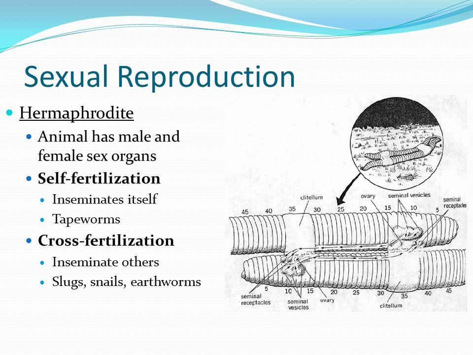 Sexual Reproduction Hermaphrodite Animal has male and female sex organs Self-fertilization Inseminates itself Tapeworms Cross-fertilization Inseminate others Slugs, snails, earthworms