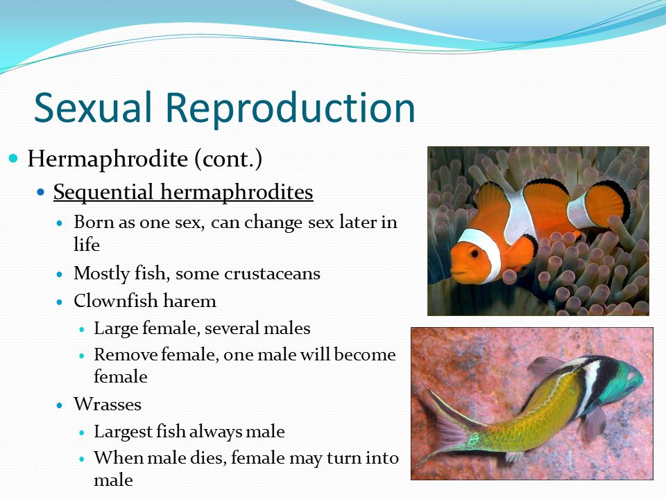 Sexual Reproduction Hermaphrodite (cont.) Sequential hermaphrodites Born as one sex, can change sex later in life Mostly fish, some crustaceans Clownfish harem Large female, several males Remove female, one male will become female Wrasses Largest fish always male When male dies, female may turn into male
