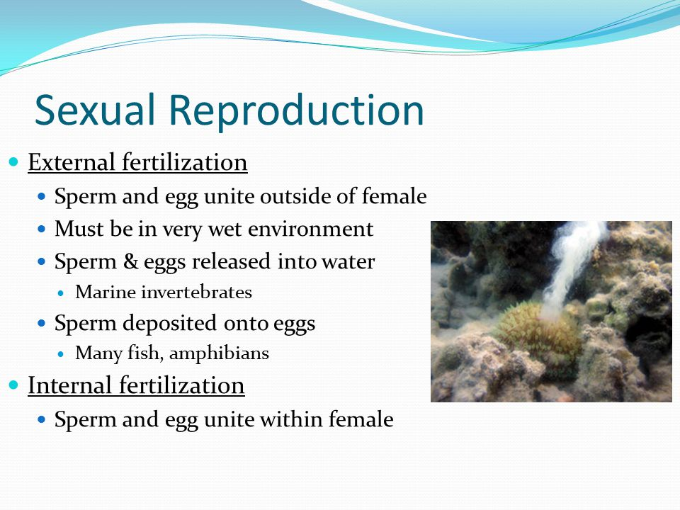 Sexual Reproduction External fertilization Sperm and egg unite outside of female Must be in very wet environment Sperm & eggs released into water Marine invertebrates Sperm deposited onto eggs Many fish, amphibians Internal fertilization Sperm and egg unite within female