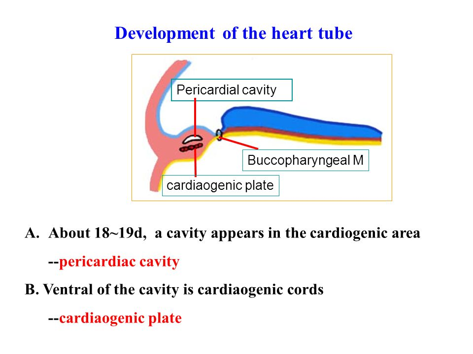 A.About 18~19d, a cavity appears in the cardiogenic area --pericardiac cavity B. Ventral of the cavity is cardiaogenic cords --cardiaogenic plate Peri