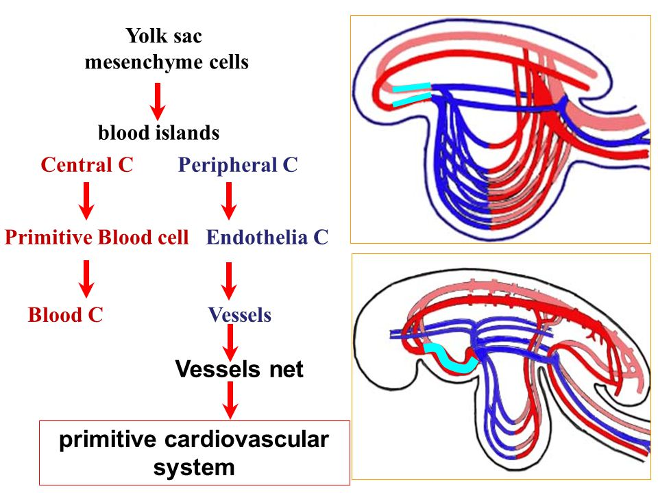 Yolk sac mesenchyme cells blood islands Central C Peripheral C Primitive Blood cell Endothelia C Blood C Vessels primitive cardiovascular system Vesse