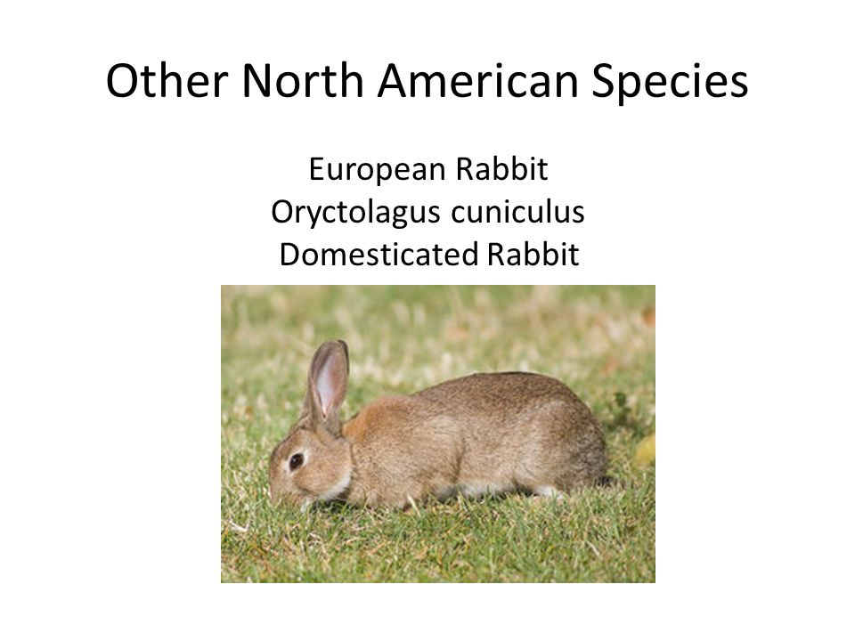 Other North American Species European Rabbit Oryctolagus cuniculus Domesticated Rabbit