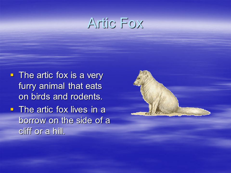 Artic Fox  The artic fox is a very furry animal that eats on birds and rodents.