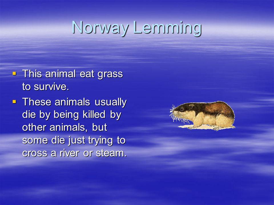 Norway Lemming  This animal eat grass to survive.