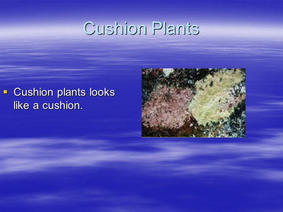 Cushion Plants  Cushion plants looks like a cushion.