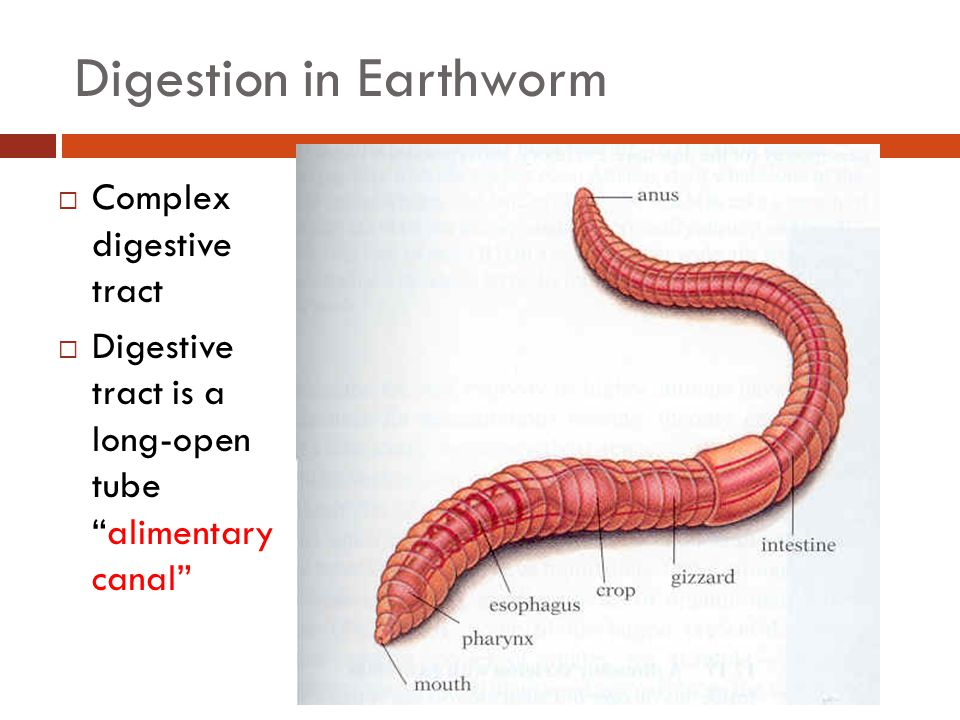 Digestion in Earthworm  Complex digestive tract  Digestive tract is a long-open tube alimentary canal