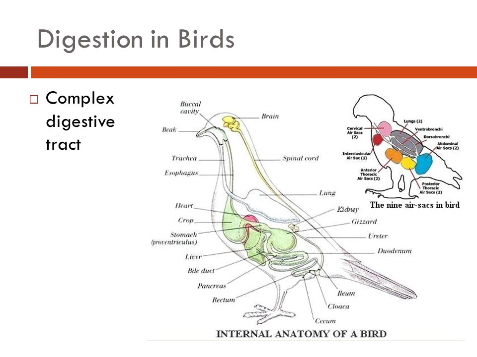 Digestion in Birds  Complex digestive tract