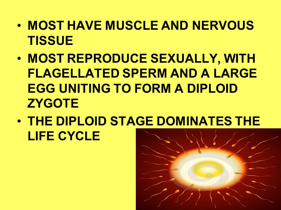 MOST HAVE MUSCLE AND NERVOUS TISSUE MOST REPRODUCE SEXUALLY, WITH FLAGELLATED SPERM AND A LARGE EGG UNITING TO FORM A DIPLOID ZYGOTE THE DIPLOID STAGE DOMINATES THE LIFE CYCLE