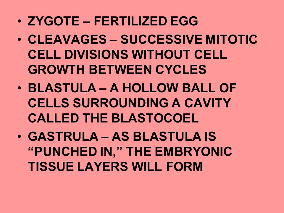 ZYGOTE – FERTILIZED EGG CLEAVAGES – SUCCESSIVE MITOTIC CELL DIVISIONS WITHOUT CELL GROWTH BETWEEN CYCLES BLASTULA – A HOLLOW BALL OF CELLS SURROUNDING A CAVITY CALLED THE BLASTOCOEL GASTRULA – AS BLASTULA IS PUNCHED IN, THE EMBRYONIC TISSUE LAYERS WILL FORM