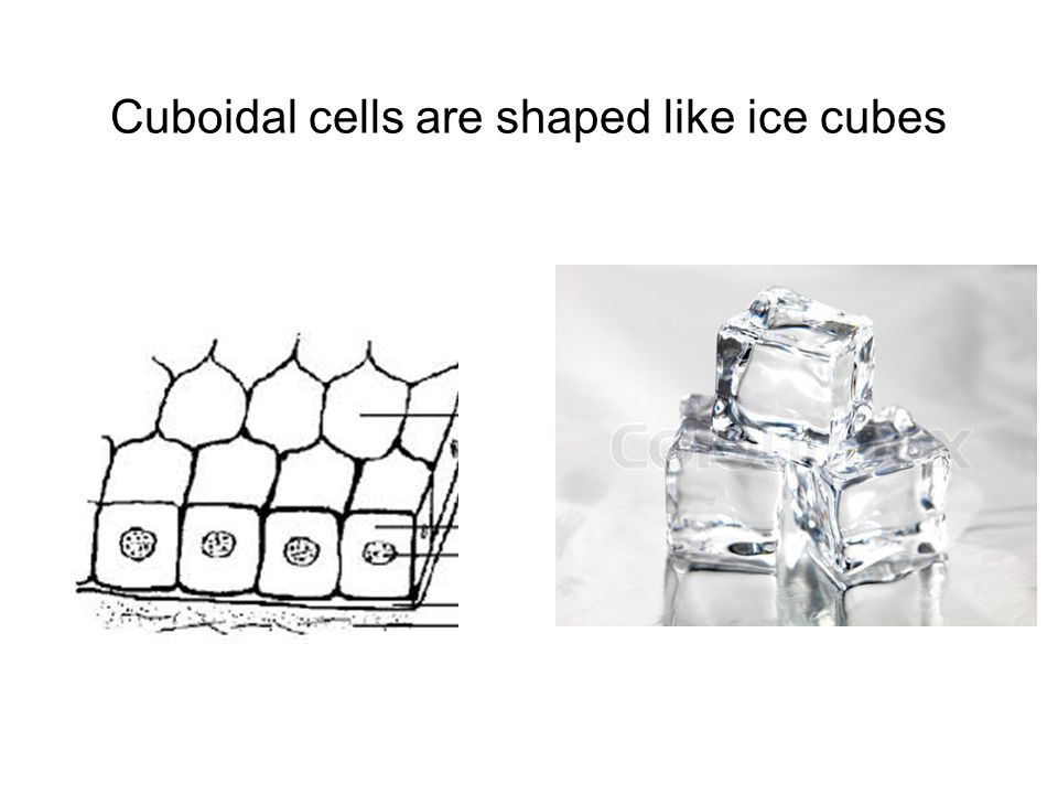 Cuboidal cells are shaped like ice cubes