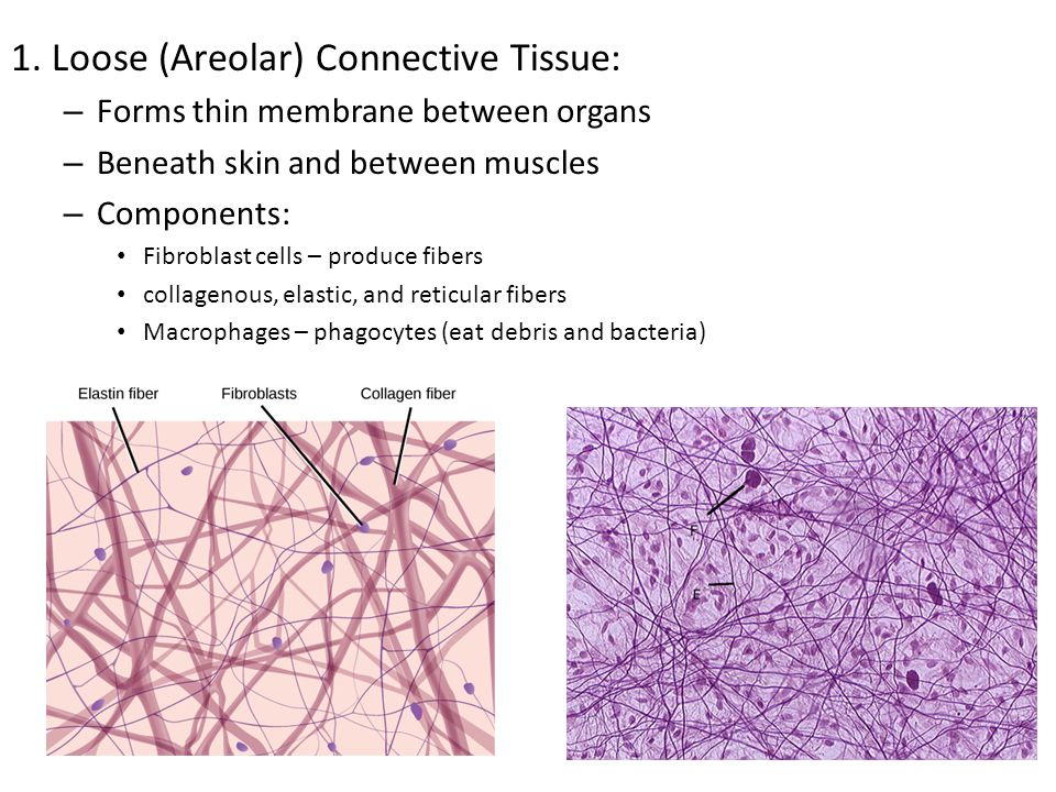 1. Loose (Areolar) Connective Tissue: – Forms thin membrane between organs – Beneath skin and between muscles – Components: Fibroblast cells – produce