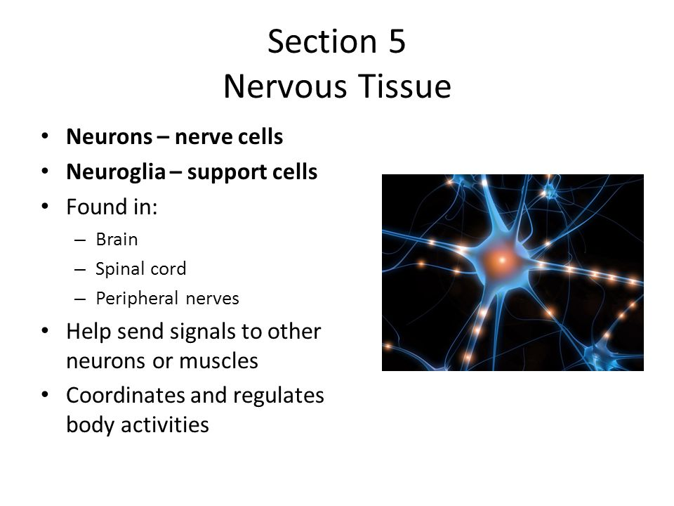 Section 5 Nervous Tissue Neurons – nerve cells Neuroglia – support cells Found in: – Brain – Spinal cord – Peripheral nerves Help send signals to other neurons or muscles Coordinates and regulates body activities