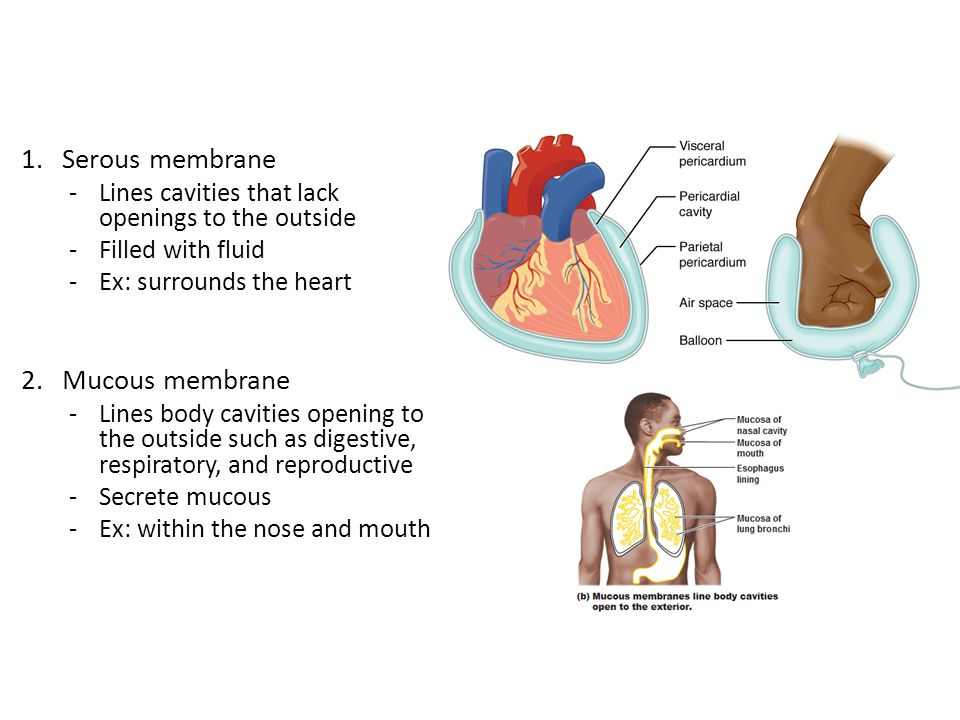 1.Serous membrane -Lines cavities that lack openings to the outside -Filled with fluid -Ex: surrounds the heart 2.Mucous membrane -Lines body cavities opening to the outside such as digestive, respiratory, and reproductive -Secrete mucous -Ex: within the nose and mouth
