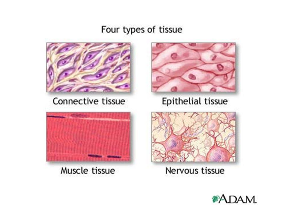 Pseudostratified columnar – Lines respiratory passages – Protects and clears airways – Moves mucus Stratified squamous – Protection – Outer layer of skin; epidermis