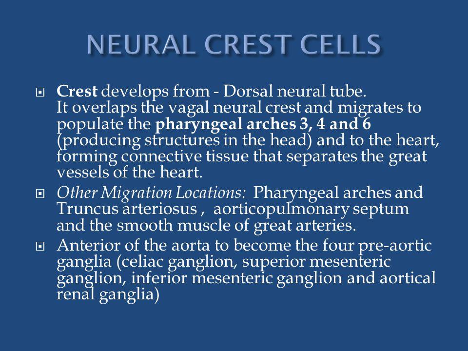  Crest develops from - Dorsal neural tube.