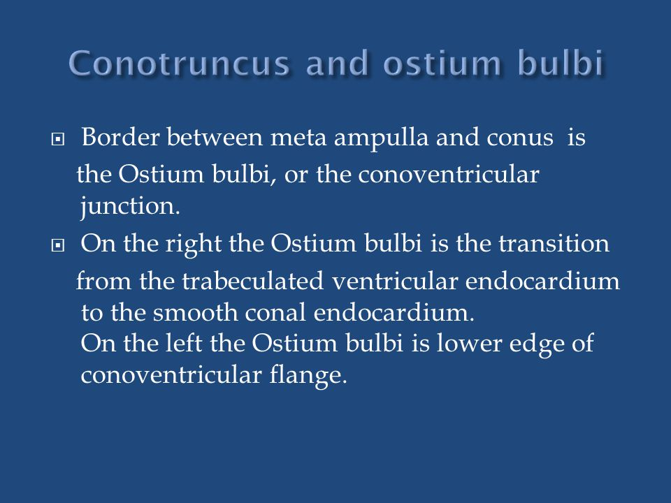  Border between meta ampulla and conus is the Ostium bulbi, or the conoventricular junction.  On the right the Ostium bulbi is the transition from t