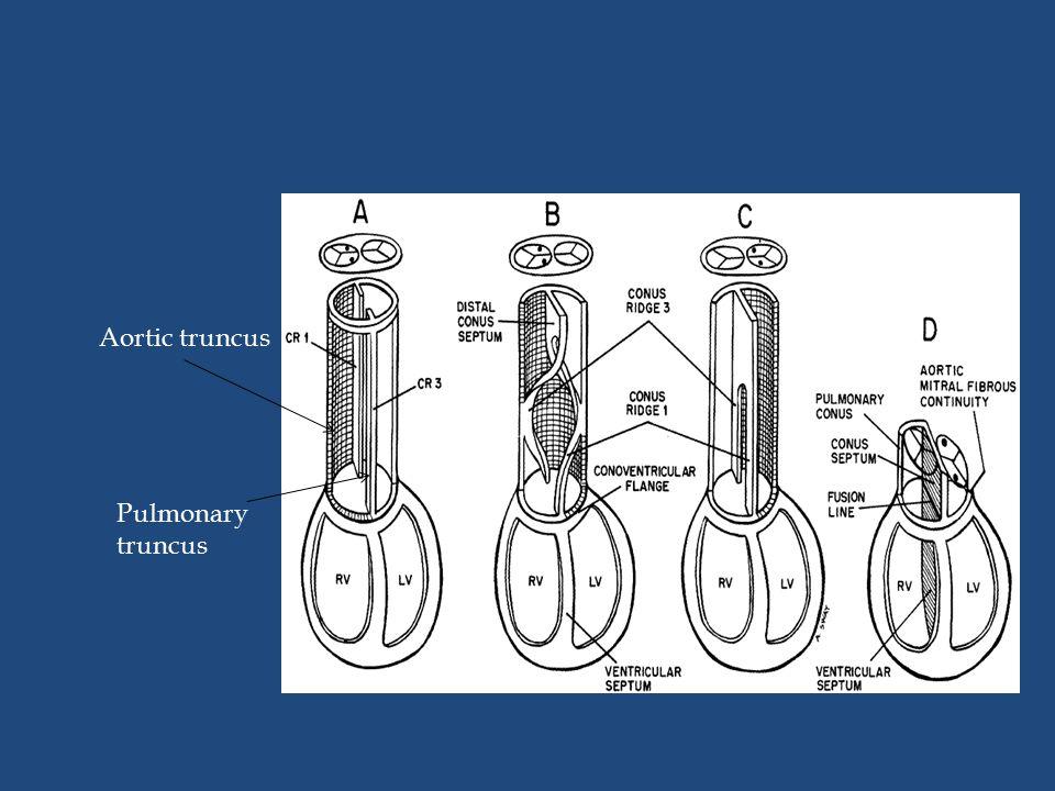 Aortic truncus Pulmonary truncus