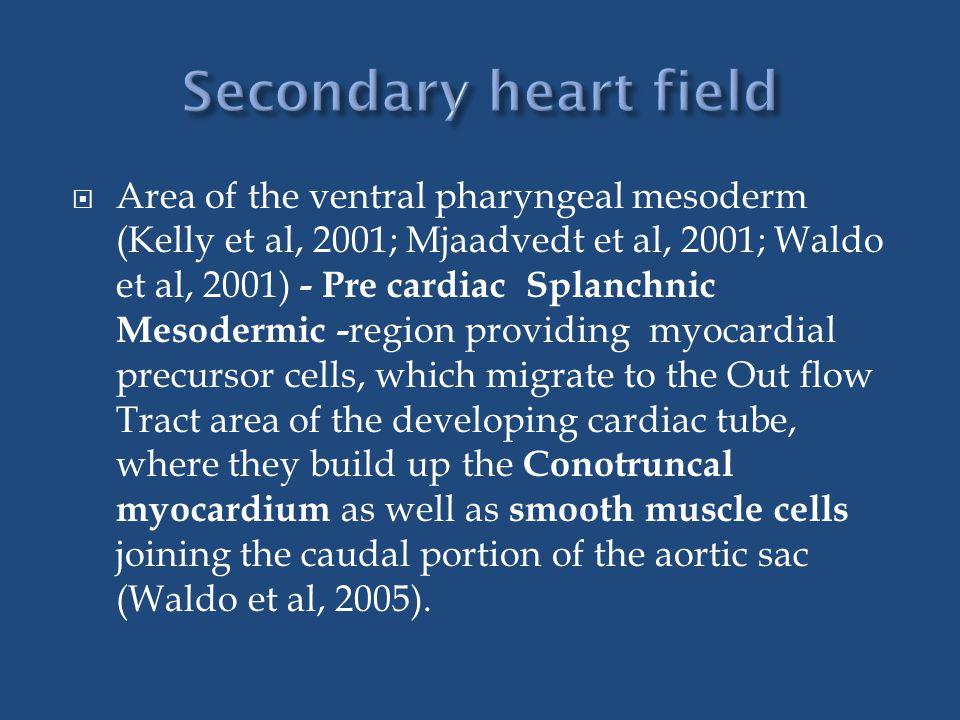  Area of the ventral pharyngeal mesoderm (Kelly et al, 2001; Mjaadvedt et al, 2001; Waldo et al, 2001) - Pre cardiac Splanchnic Mesodermic - region p