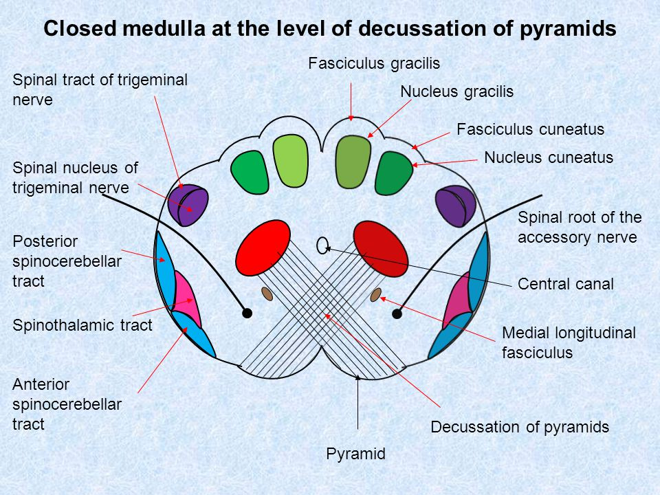 Closed medulla at the level of decussation of pyramids Fasciculus gracilis Fasciculus cuneatus Nucleus gracilis Nucleus cuneatus Spinal tract of trigeminal nerve Spinal nucleus of trigeminal nerve Decussation of pyramids Pyramid Posterior spinocerebellar tract Anterior spinocerebellar tract Spinothalamic tract Spinal root of the accessory nerve Central canal Medial longitudinal fasciculus